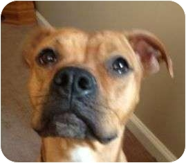 Boxer Mix Dog for adoption in Turnersville, New Jersey - Honey