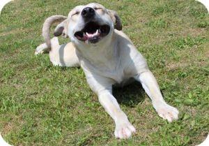 Labrador Retriever/Pit Bull Terrier Mix Dog for adoption in Dallas, Texas - Sam