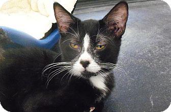 American Shorthair Kitten for adoption in Medford, New York - Charlie Chan