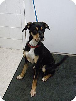 Labrador Retriever/German Shepherd Dog Mix Dog for adoption in Lancaster, Virginia - Biscuit