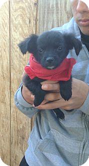 Cocker Spaniel/Dachshund Mix Puppy for adoption in Santee, California - Duffy