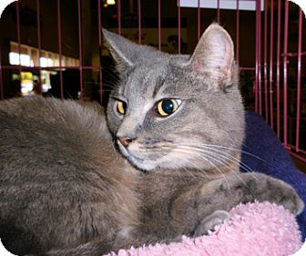 Domestic Mediumhair Cat for adoption in Tampa, Florida - Abby