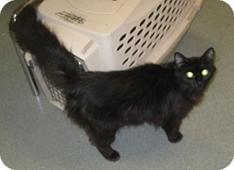 Domestic Longhair Cat for adoption in Westminster, California - Jovi
