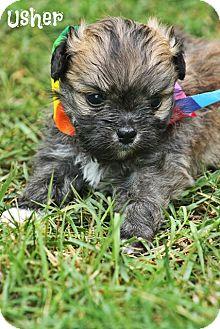 Shih Tzu/Chihuahua Mix Puppy for adoption in Cranford, New Jersey - Usher