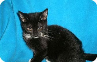 Domestic Shorthair Kitten for adoption in Richmond, Virginia - Lambchop