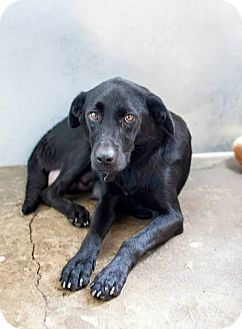 Labrador Retriever Mix Dog for adoption in Henderson, North Carolina - Betty