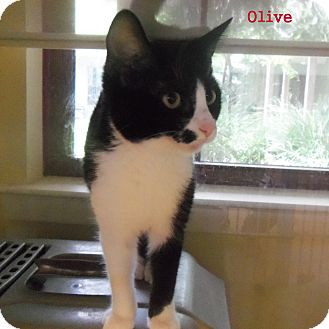 Domestic Shorthair Kitten for adoption in Slidell, Louisiana - Olive