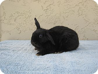 Lop-Eared Mix for adoption in Bonita, California - Pee Wee