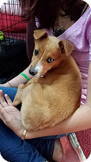 Jack Russell Terrier Mix Puppy for adoption in New Oxford, Pennsylvania - Raven