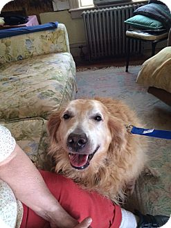 Golden Retriever Dog for adoption in New Canaan, Connecticut - Goldie