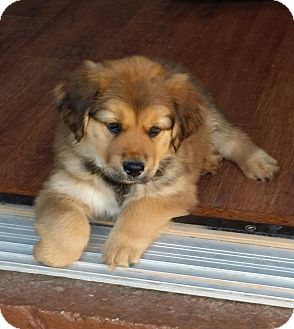 Golden Retriever Mix Puppy for adoption in Litchfield Park, Arizona - Hope