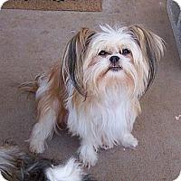 Adopt A Pet :: Dezi ~ Pure breed Miki - San Angelo, TX