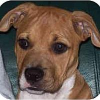 Adopt A Pet :: Sundae - North Haven, CT