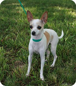 Chihuahua Dog for adoption in Atchison, Kansas - Daisy Doodle