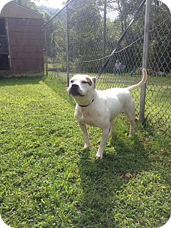 American Bulldog Mix Dog for adoption in Cleveland, Ohio - Tootsie Roll