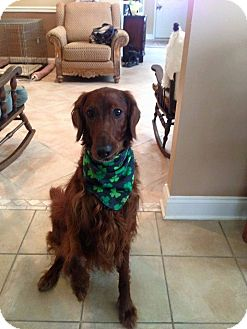 Irish Setter Mix Dog for adoption in Essington, Pennsylvania - Shamrock