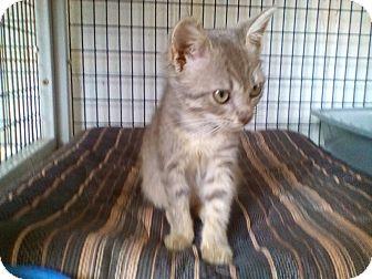 American Shorthair Kitten for adoption in Bryson City, North Carolina - Jackson