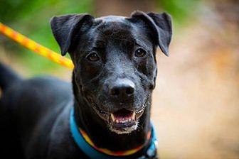 Labrador Retriever/Shar Pei Mix Dog for adoption in Rockaway, New Jersey - Tin Tin