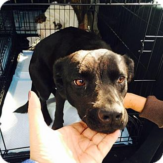 Beagle/Labrador Retriever Mix Dog for adoption in Sanford, Florida - Supercali the Mamma Dog