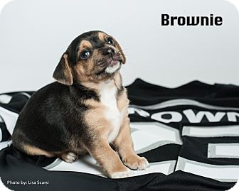 Jack Russell Terrier/Rat Terrier Mix Puppy for adoption in Irvine, California - Brownie