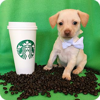 Jack Russell Terrier/Spaniel (Unknown Type) Mix Puppy for adoption in Irvine, California - Latte