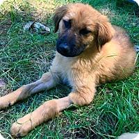 Adopt A Pet :: Lincoln - Adoption Pending - Gig Harbor, WA