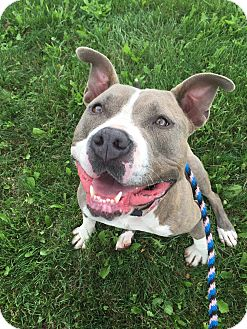 American Staffordshire Terrier Mix Dog for adoption in Lake Odessa, Michigan - Fiona