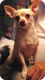 Chihuahua Dog for adoption in Mount Kisco, New York - Cookie