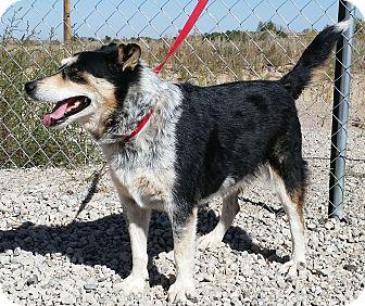 Border Collie/Australian Cattle Dog Mix Dog for adoption in Sterling, Colorado - Caroline