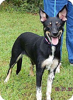 Australian Kelpie Dog for adoption in Williamsport, Maryland - Phoenix (45 lb) Video!