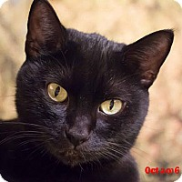 Domestic Shorthair Cat for adoption in Encino, California - Elsa