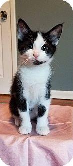 Domestic Shorthair Kitten for adoption in Columbus, Ohio - Peanut