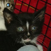 Adopt A Pet :: Hunter (teenage male kitten) - Harrisburg, PA
