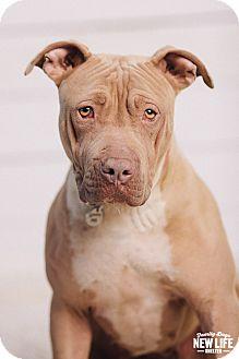 Pit Bull Terrier/Shar Pei Mix Dog for adoption in Portland, Oregon - Princess Pickle