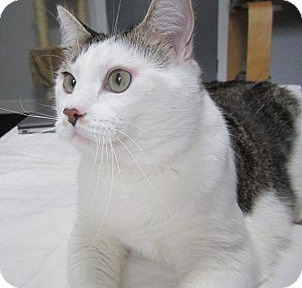 Siamese Cat for adoption in Ashville, Ohio - Pippi