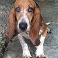 Basset Hound Dog for adoption in Pennsville, New Jersey - LEXIE