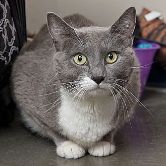 Domestic Shorthair Cat for adoption in Wilmington, Delaware - Blaire
