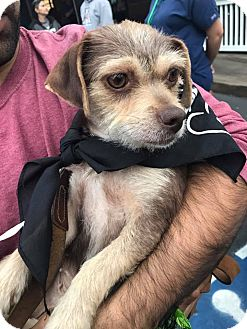 Dachshund/Chihuahua Mix Dog for adoption in San Diego, California - Lucy