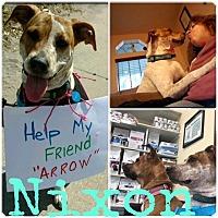 Adopt A Pet :: Nixon - Pinellas Park, FL