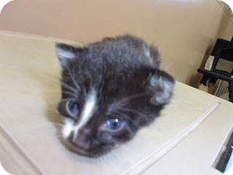 Domestic Shorthair Kitten for adoption in Princeton, West Virginia - Bella