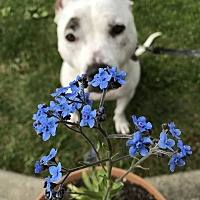 American Staffordshire Terrier Puppy for adoption in Canton, Ohio - Athena