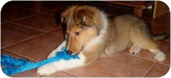 Collie Puppy for adoption in Minneapolis, Minnesota - RayRay