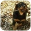 Photo 2 - Dachshund Puppy for adoption in House Springs, Missouri - Mallory