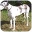Photo 1 - Great Dane Dog for adoption in Hanover, Maryland - Boo