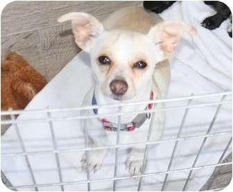 Chihuahua/Dachshund Mix Dog for adoption in Saskatoon, Saskatchewan - Danny