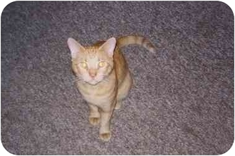 Domestic Shorthair Cat for adoption in Oak Lawn, Illinois - Speedy