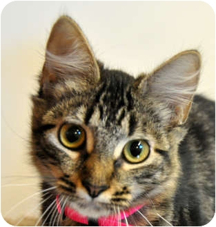 Domestic Mediumhair Cat for adoption in Sacramento, California - Maddie