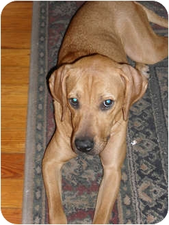 Redbone Coonhound/Labrador Retriever Mix Dog for adoption in Palm Harbor, Florida - Brandi