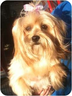 Yorkie, Yorkshire Terrier/Silky Terrier Mix Dog for adoption in Temecula, California - Sophia