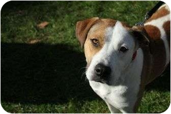 Beagle Mix Dog for adoption in Orlando, Florida - Kit Kat